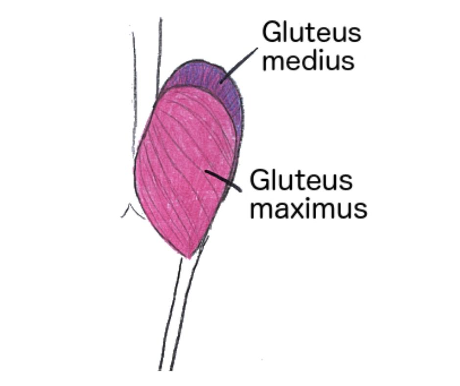 glutes muscle